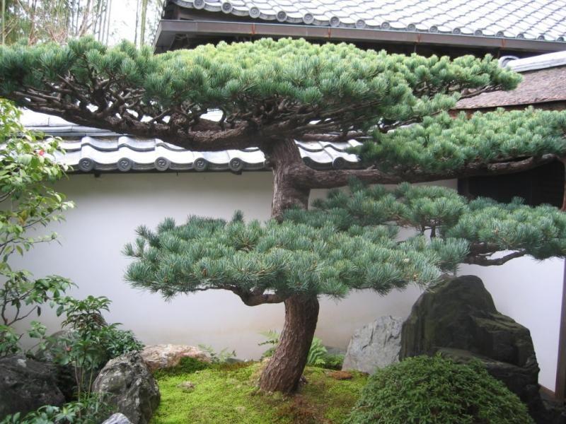 innenhof anlegen - bonsai baum im steingarten | gardening,