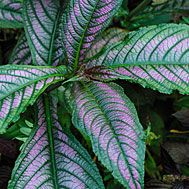 Persian Shield Plant Home Depot