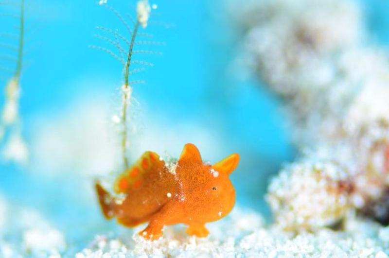 Pygmy Frogfish - by Yoshimichi Akutsu  #saltwater #ocean