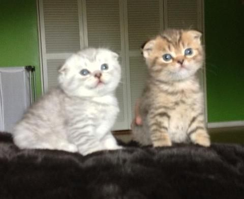 4 Weeks Old Two Scottish Fold Kittens Whose Ears Just Folded Scottish Fold Kittens Cat Scottish Fold Scottish Fold