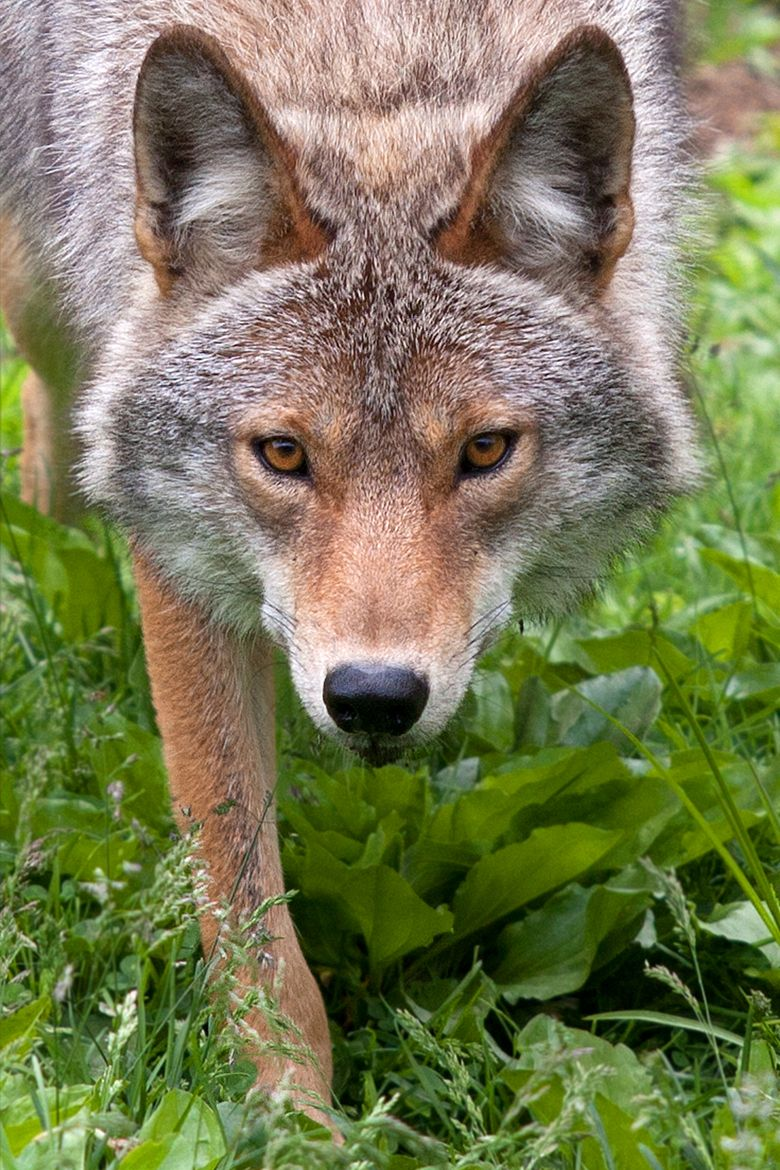 Photograph Hunter - Coyote by Jim Cumming on 500px