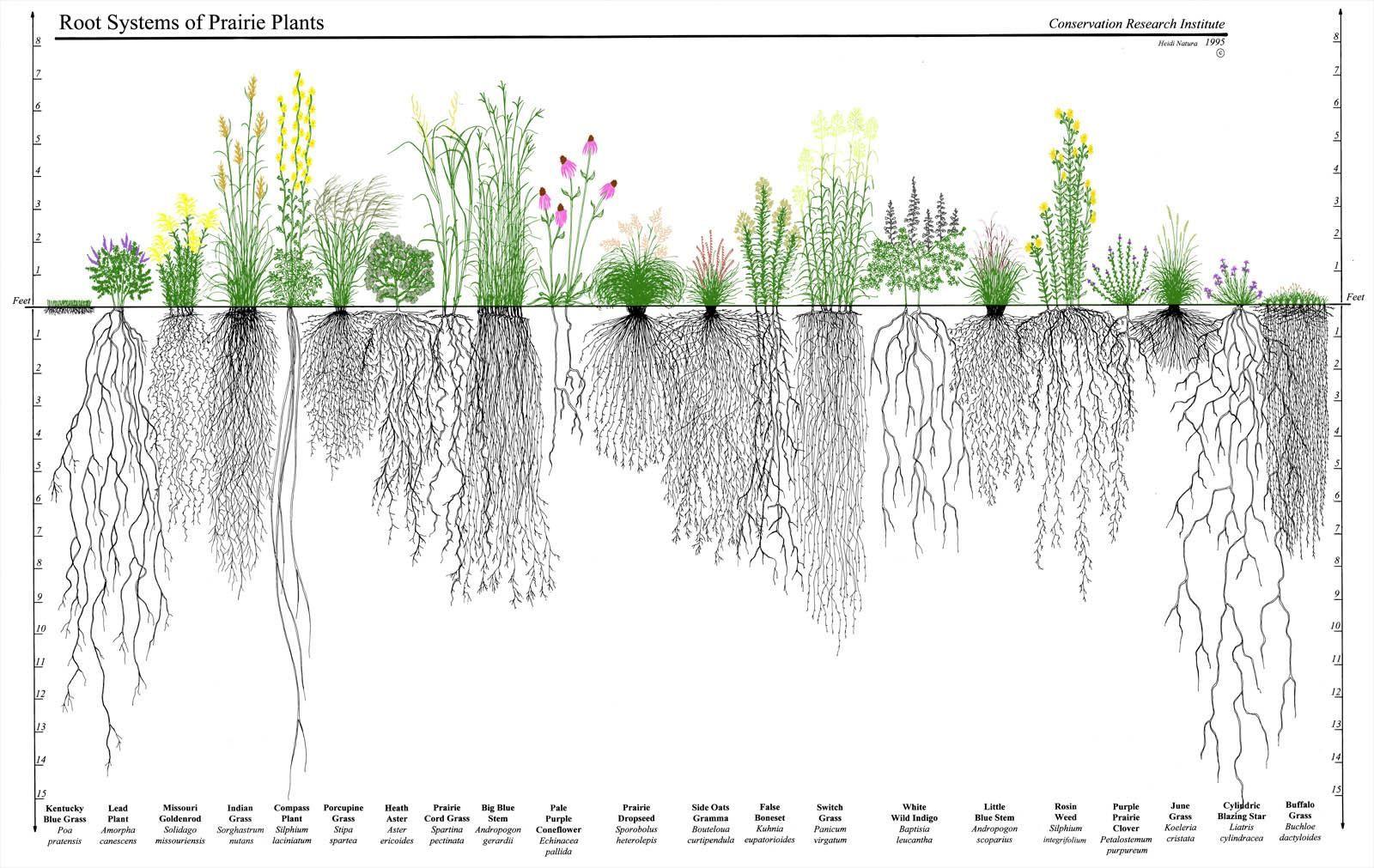 Plant Root Depth