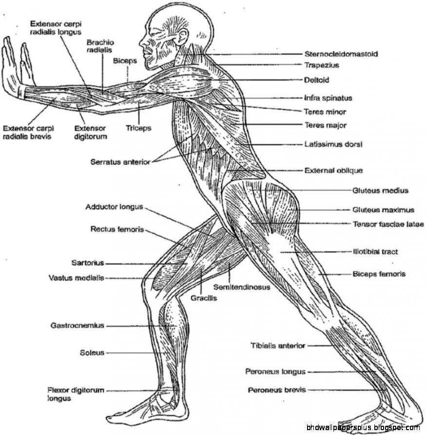 Image result for blood flow through posterior side of