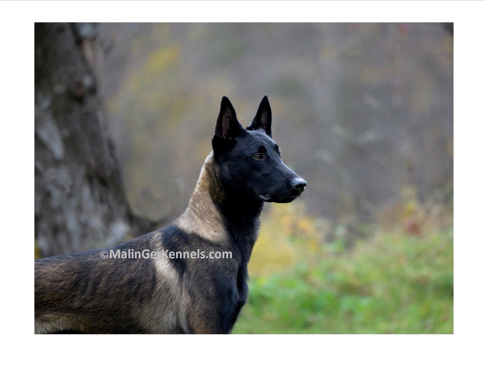 Gorgeous Dark Fawn Sable Belgian Malinois From Malinger Kennels