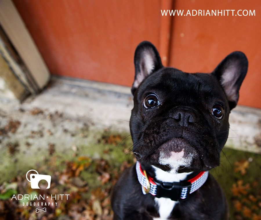 French Bulldog Dog Photographer Nashville Tn Adrian Hitt