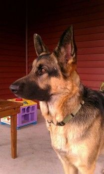 WARRANT~SERVICE DOG~LOST!!ANYONE who has seen this dog contact Brittany as soon as possible. CALL:517-414-5686 or 517-392-5908 EMAIL:apachekitten@gmail.com  INFORMATION: 2 yr old male German shepherd, neutered,chipped •Last seen wearing red service dog vest at the First Baptist church on Gum Branch Road in JACKSONVILLE, NC.  Brittany Heiman, owner, is desperate to get her service dog back. •REWARD OFERED Warrant's timid, not aggressive. Please SHARE his information- help bring him safely…