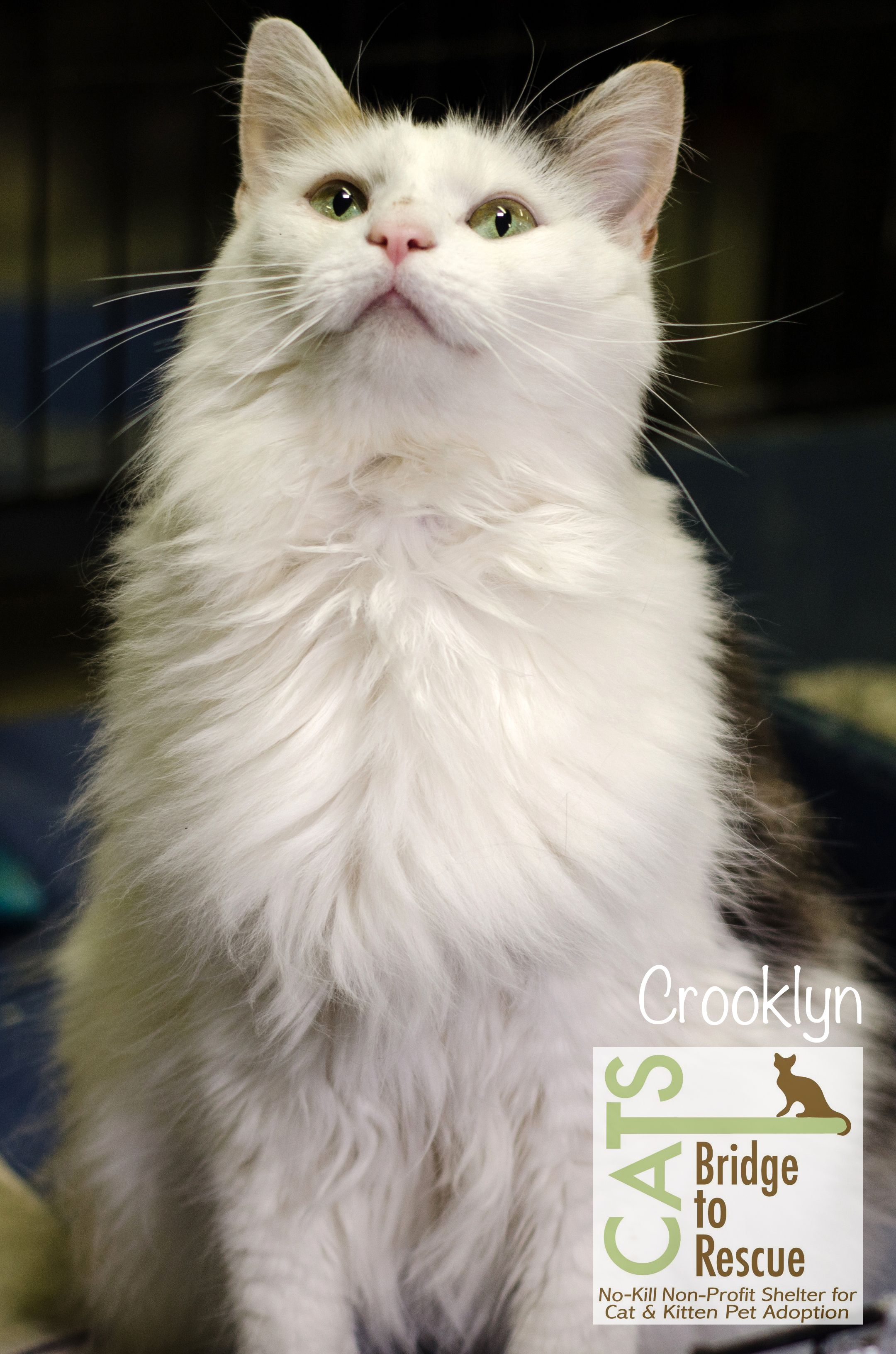 Crooklyn Adopted 2015 Animal Shelter Cat Day Cats