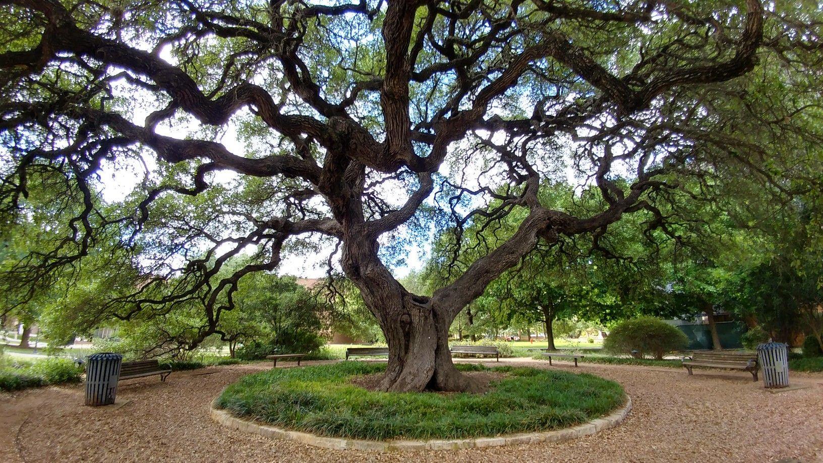 The Mighty Sorin Oak At St Edwards University St Edwards University Plants
