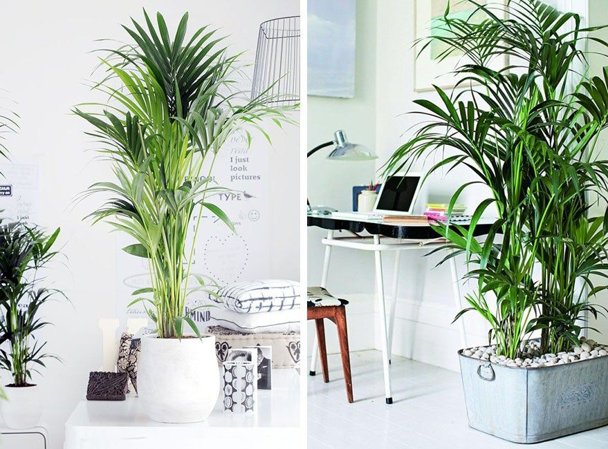 Plantas de interior kentia palmera plantas pinterest for Palmeras de interior
