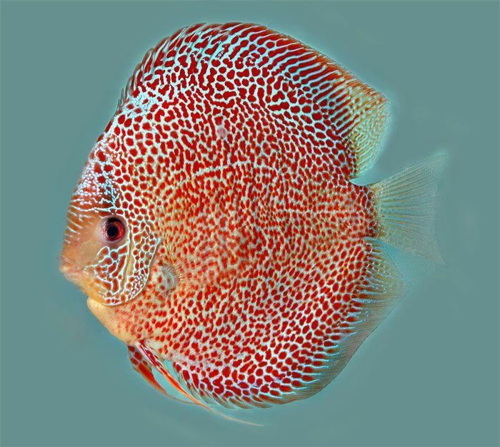 Snakeskin Discus Fish Discus Fish Fresh Water Fish Tank Fish