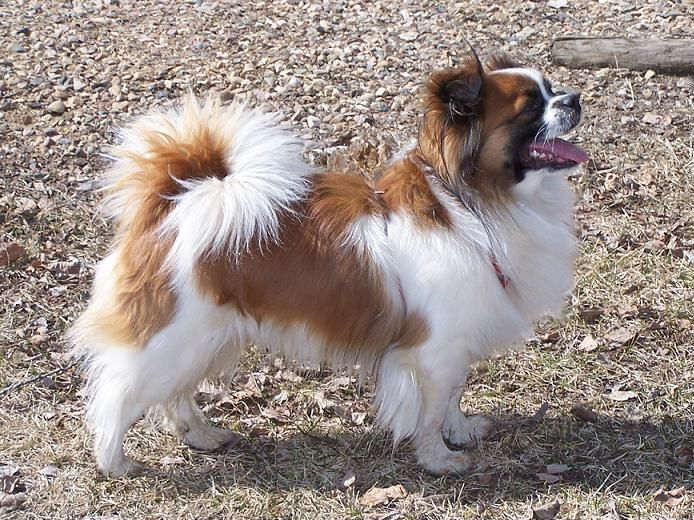 The Tibetan Spaniel Is A Breed Of Assertive Small Intelligent