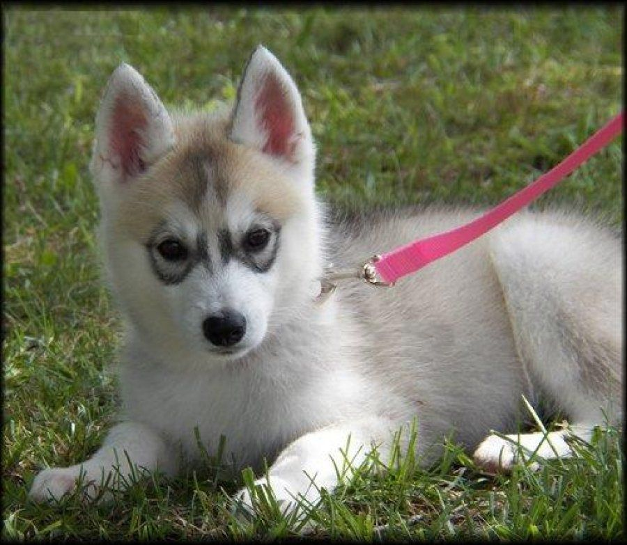 White And Grey Siberian Husky Puppies Husky Puppy Brown