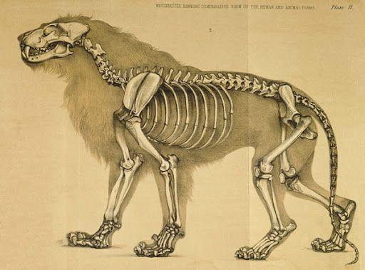 lion skeleton | Reference / Anatomy | Pinterest | Skeletons, Lions ...