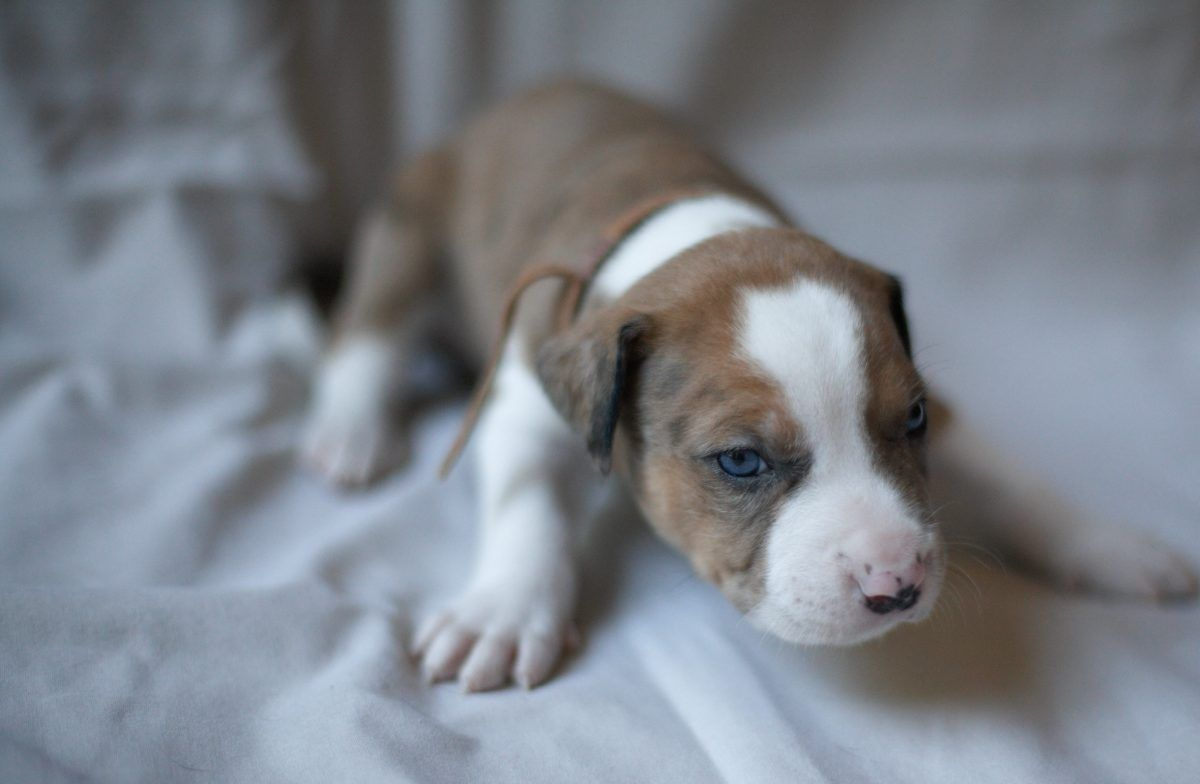 Puppies For Sale Near Me Find Your Puppy Vip Puppies Bulldog Puppies Puppies For Sale Cheap Puppies