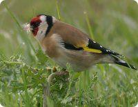 Vogel des Jahres 2016 - Der Stieglitz (Distelfink) (Carduelis carduelis)