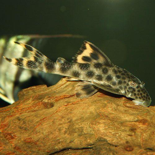 Para Pleco Peckoltia Sabaji L075 Small Pleco Fish Beautiful Fish Aquarium Fish