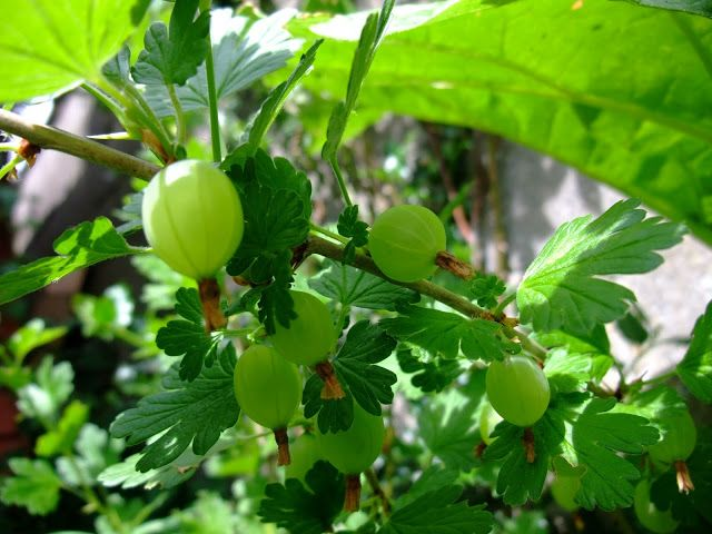 HERBAL PICNIC GOOSEBERRY treatment for a stye on one s eye is to