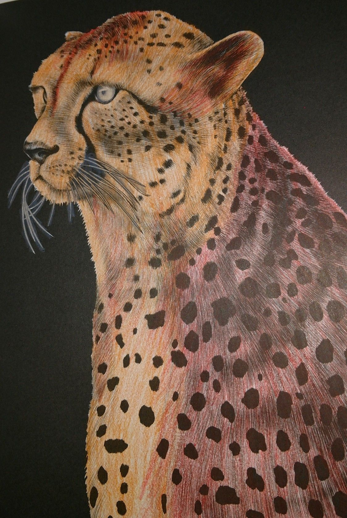 Coloring pages for cheetah - Cheetah Adult Coloring Pagescheetahs