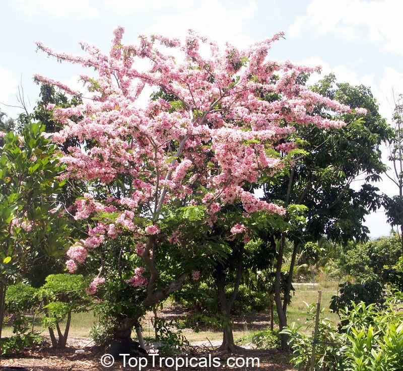 Pink shower tree appleblossom tree cassia nodosa for Pink small tree