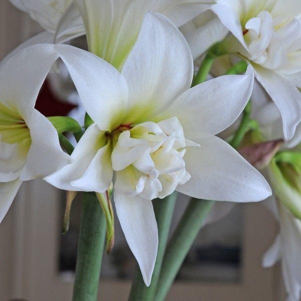 Die weiße Amaryllis 'Jewel' ist halb gefüllt und duftet - absolut selten in der Amarylliswelt! Die Zwiebeln kommen ab November in die Pflanzgefäße und blühen dann als Zimmerpflanze mitten im Winter - online erhältlich bei www.fluwel.de