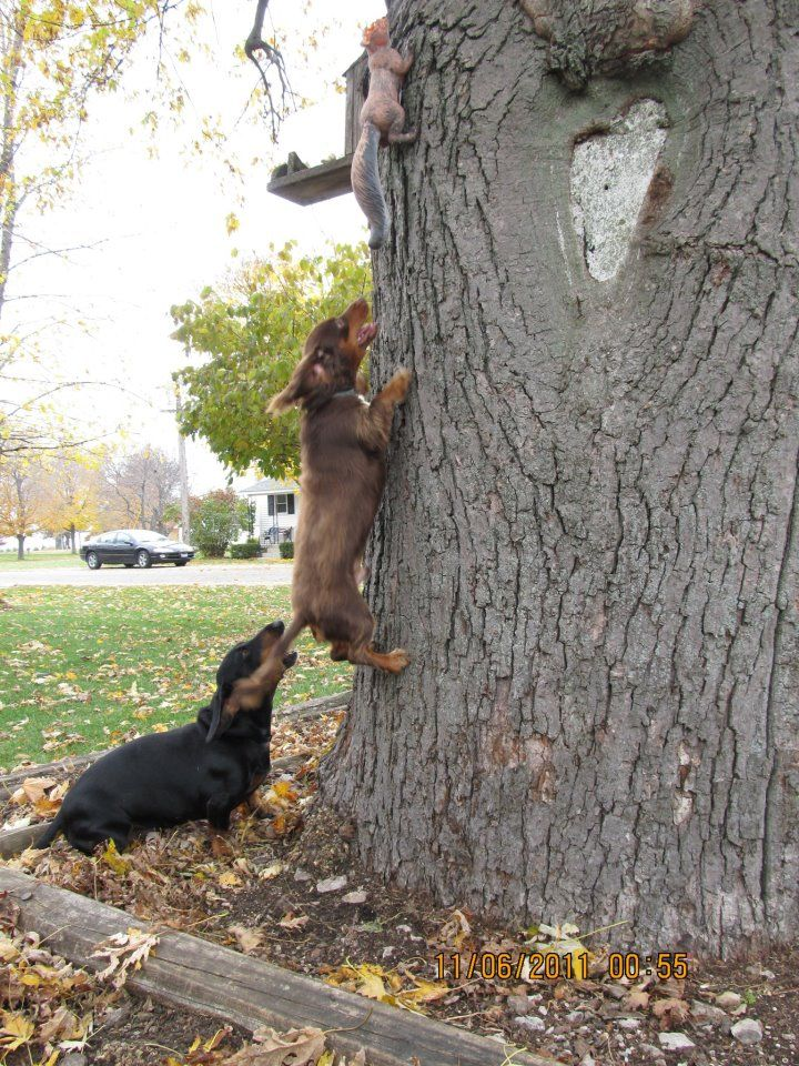 Fake Squirrel!!  Hank!!!  Get down from there!