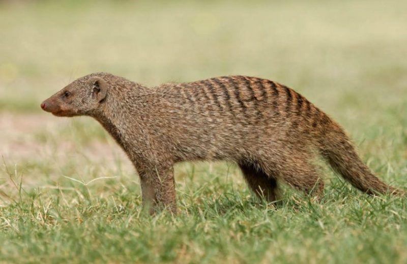 Animals That Start With M Mongoose Mongoose Animal Animal Pictures Animals