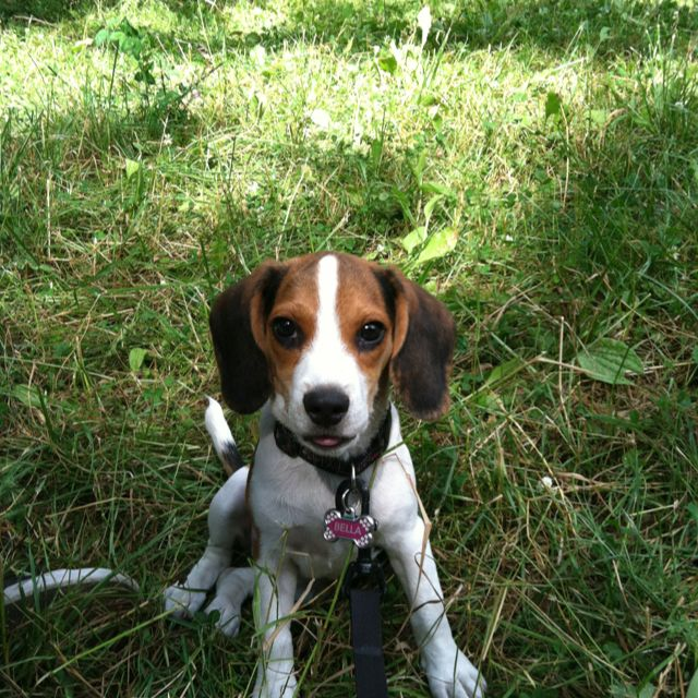 My Puppy Beagle Bella Happy To Be In The Wisconsin Forest