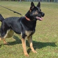 Police K9 Dogs For Sale By Trained Police Dogs For Sale On