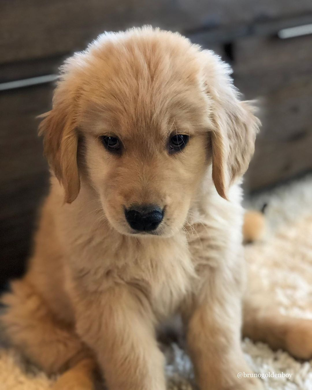 Bruno Golden Retriever Pup On Instagram Give Your Hoomans This