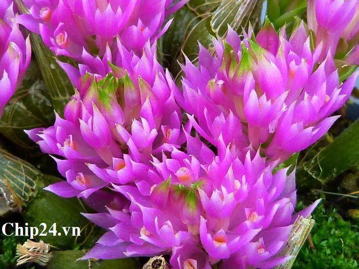Dendrobium Purpureum..