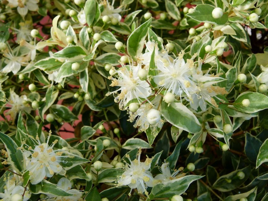 Picture of Live Variegated Dwarf Myrtle aka Myrtus c. 'Compacta Variegata' Shrubs Plant Fit 5 Gallon Pot