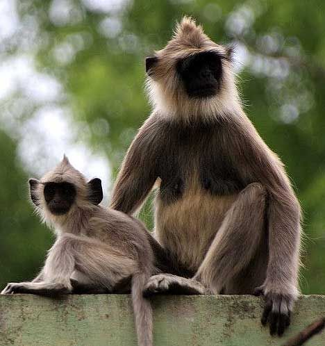mother hanuman monkey with young