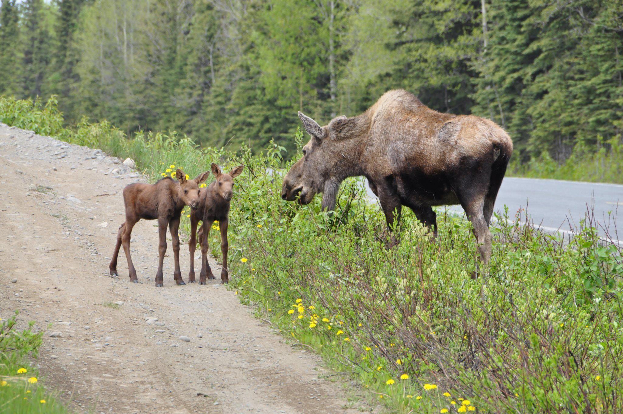 aww, two baby Moose | Animals beautiful, Wild creatures ...