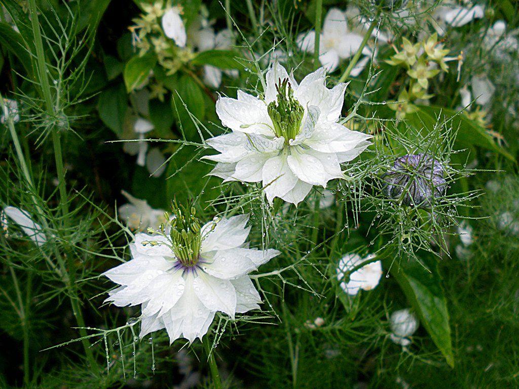 fleurs de nigelle blanches jardin pinterest fleurs. Black Bedroom Furniture Sets. Home Design Ideas