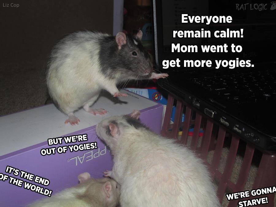 Rat Logic Timeline Photos Facebook Funny Rats Pet Rats Cute Rats