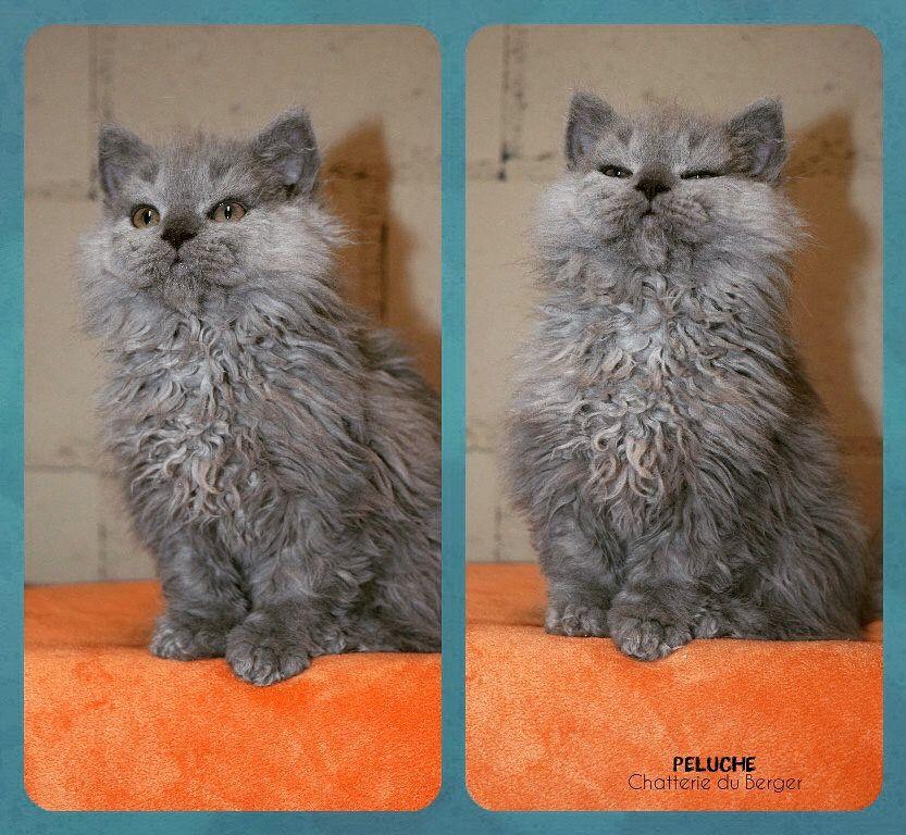 Peluche Selkirk Rex Kitties Selkirk Rex Cats Animals