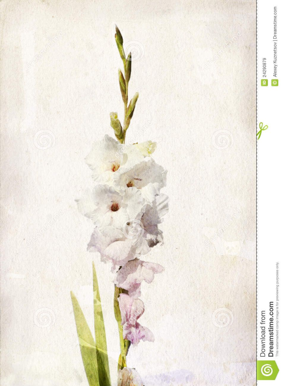 Watercolor White Gladiolus Watercolor Flowers Illustration Watercolor