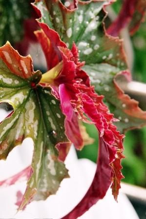 Angel Wing Begonia Care Is Easy Find The Proper Care And How To