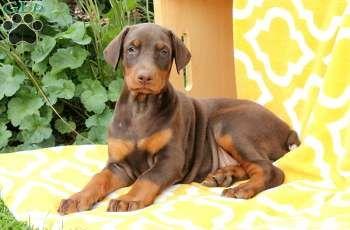 Alicia Doberman Pinscher Puppy For Sale In Pennsylvania