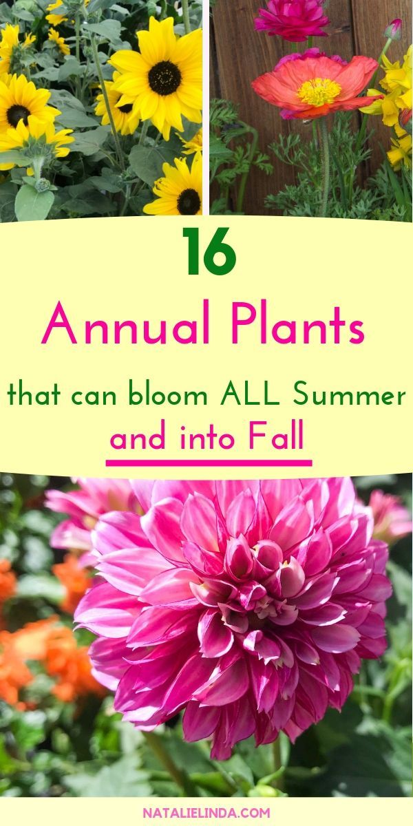16 Annuals That Bloom ALL Summer Long is part of Flower garden, Annual flowers, Flower farm, Annual plants, Plants, Planting flowers - Plant these annuals in your yard if you want blooms in your garden all Summer long! These annuals bloom from June to early frost!