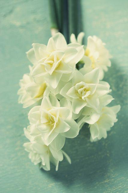 Narcissus | Flickr: Intercambio de fotos