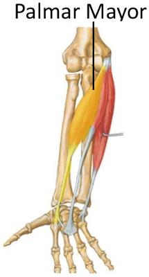 Músculo Flexor Radial Del Carpo O Palmar Mayor Musculos Anatomía Traseros