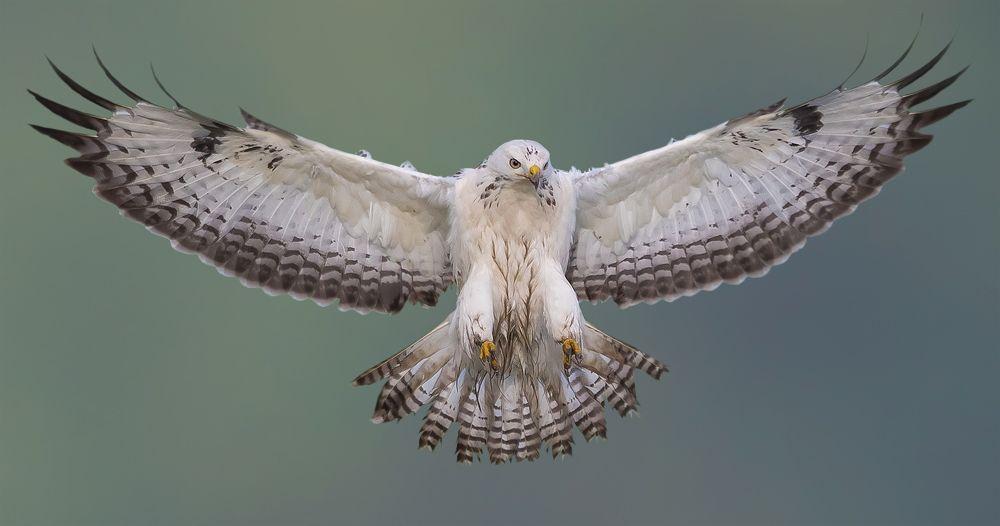 Vogel foto: Buteo buteo / Buizerd / Common Buzzard