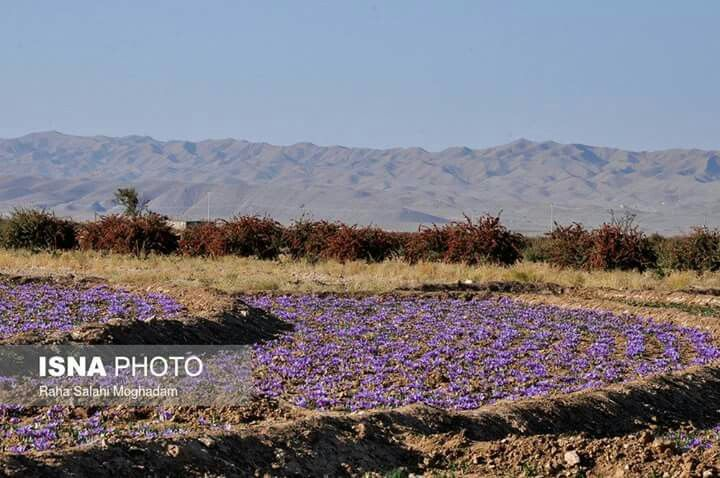 #Saffron harvest, #Birjand, #SouthKhorasan province, #Iran  realiran.org