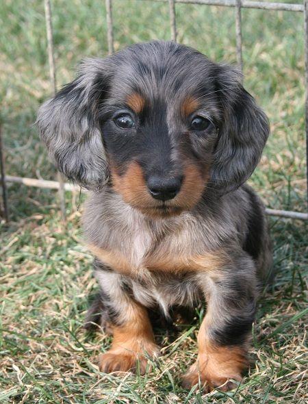 Longdox Puppypage Dapple Dachshund Cute Animals Dachshund Puppy