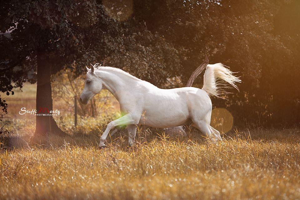 weißer Araber im Freilauf #araber #horse #pferd #freilauf #schimmel