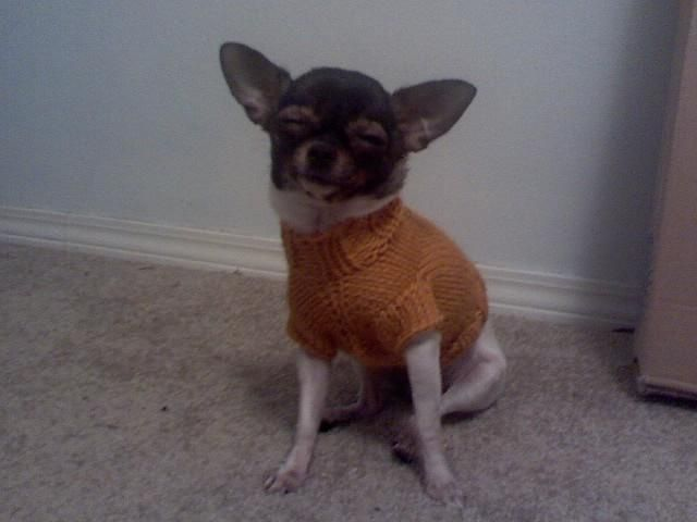 Darby\'s Cabled Sweater Pattern (Chihuahua Sweater) | Tired, Knit ...