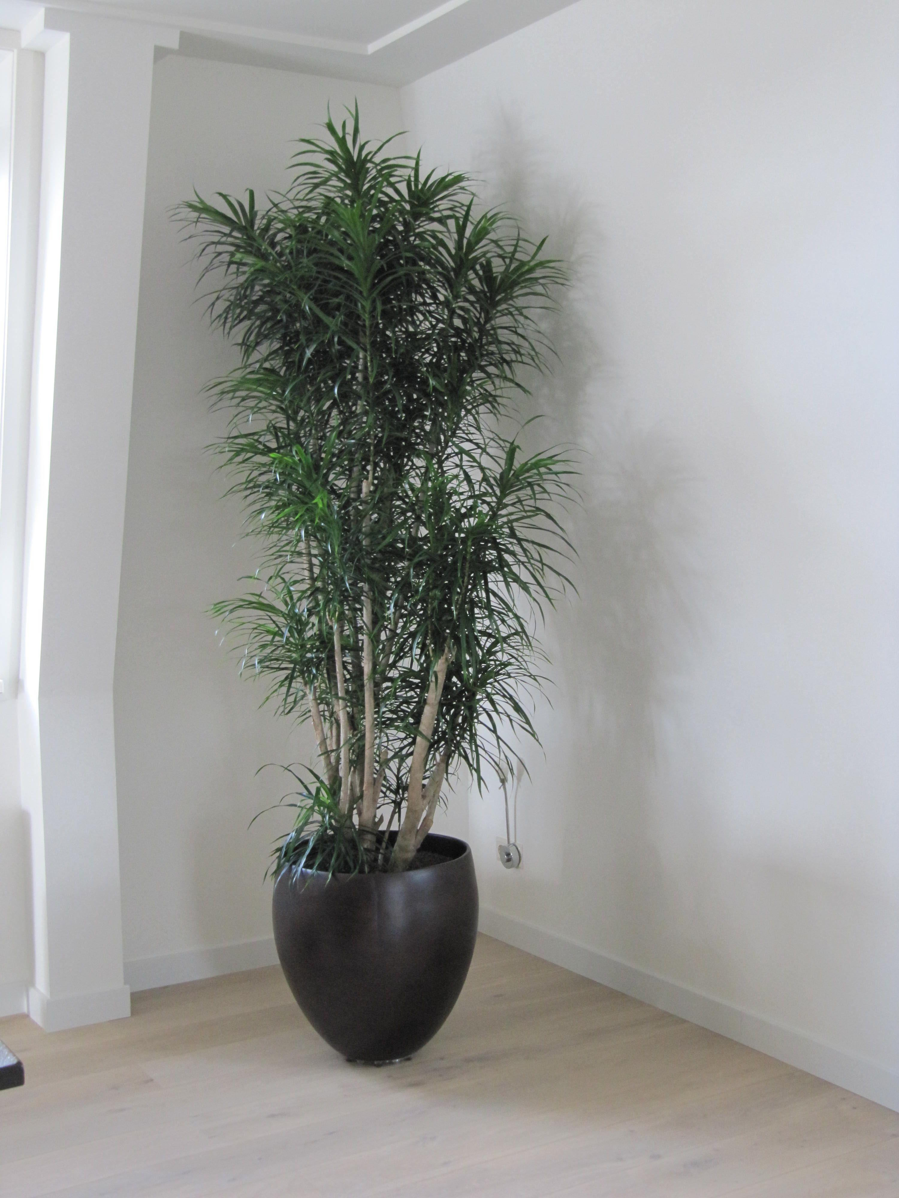 Pot Wood design in binatie met een sterke kamerplant Pleomele Anita buiten binnen