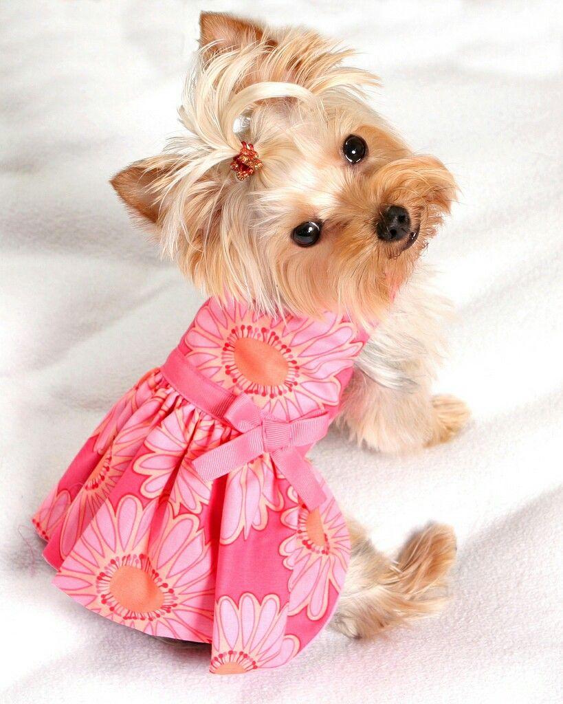 Pin de Полина Krокс en Yorkie | Pinterest | Ropa para perros, Trajes ...