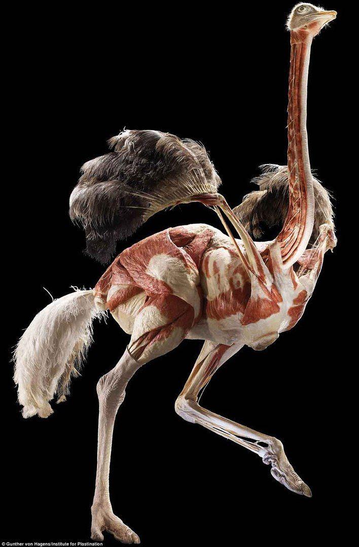 строение страуса фото хочу собрать
